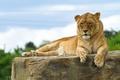 Картинка кошка, львица, отдых, камень
