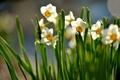 Картинка цветы, солнечно, цветение, весна, листья, нарциссы