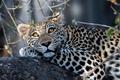 Картинка леопард, взгляд, красавец, дикая кошка