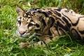 Картинка взгляд, трава, морда, отдых, дымчатый леопард