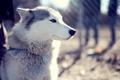 Картинка собака, взгляд, парк, husky, хаски, dog, морда