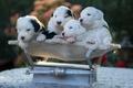 Картинка весы, Бобтейл, квартет, собаки, щенки