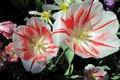 Картинка flowers, striped, tulips