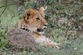 Картинка кошка, взгляд, котёнок, трава, морда, детёныш, лев, львёнок