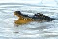 Картинка alligator, predator, teeth, reptile