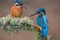 Картинка птицы, ветка, зимородок, мох, природа