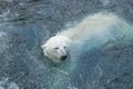 Картинка медведь, антарктика, белый, мишка, зима
